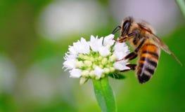pszczoła zajęty Zdjęcie Stock