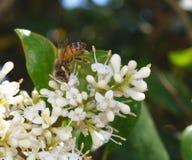 pszczoła zajęty Obraz Royalty Free