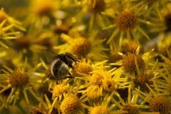 Pszczoła zapyla żółtego kwiatu zakończenie up Zdjęcia Royalty Free