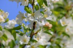 Pszczoła zapyla białych kwiaty zdjęcia royalty free