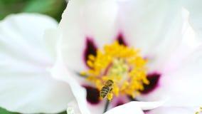 Pszczoła zapyla białych kwiaty Miodowy żniwo sezon zbiory wideo