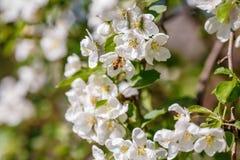 Pszczoła zapyla gałąź wiosny jabłoń z białymi kwiatami Zdjęcia Stock