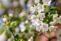 Pszczoła zapyla gałąź wiosny jabłoń z białymi kwiatami Obraz Stock
