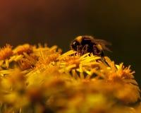 Pszczoła zapyla kolorów żółtych kwiaty Fotografia Royalty Free