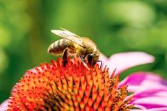 Pszczoła zapyla purpura kwiatu Zakończenie Fotografia Stock