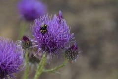 Pszczoła zbiera miód na lilym kwiacie mount dziki kwiat Makro- tryb zdjęcia royalty free