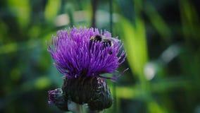Pszczoła zbiera miodowego Błękitnego kwiatu wielkiego łopian makro- w polu, w ogródzie, dzikie lasowe natury piękna flory zieleni zdjęcie wideo