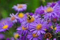 Pszczoła zbiera nektar na żółtym kwiacie i purpurach Obraz Royalty Free