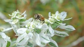 Pszczoła zbiera nektar na białym kwiacie zdjęcie wideo