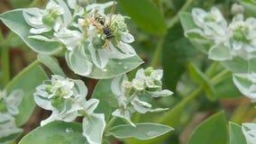 Pszczoła zbiera nektar na białym kwiacie zbiory wideo