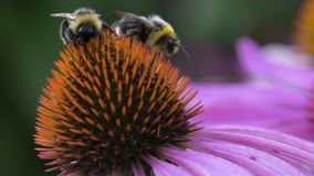 Pszczoła zbiera nektar na kwiacie echinacea zdjęcie wideo