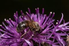 Pszczoła zbiera nektar od osetu kwiatu Zwierzęta w przyrodzie Zdjęcie Royalty Free