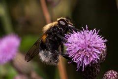 Pszczoła zbiera nektar od osetu kwiatu Zwierzęta w przyrodzie Fotografia Royalty Free