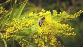 Pszczoła zbiera nektaru kwiatu żółte mimozy zbiory