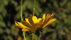 pszczoła zbiera pollen zbiory wideo