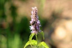 Pszczoła zbiera pollen na Agastache rugosa w słonecznym dniu Agastache rugosa jest leczniczym i ornamentacyjnym rośliną Fotografia Royalty Free