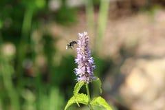 Pszczoła zbiera pollen na Agastache rugosa w słonecznym dniu Agastache rugosa jest leczniczym i ornamentacyjnym rośliną Zdjęcie Royalty Free