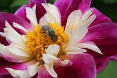 Pszczoła zbiera pollen na daliach zdjęcia royalty free