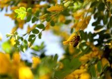 Pszczoła zbiera pollen od żółtego akacjowego kwiatu fotografia royalty free