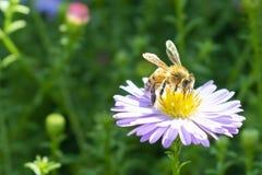 Pszczoła zbiera pollen od lilego kwiatu asteru w jesieni, obrazy stock