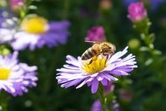 Pszczoła zbiera pollen od lilego kwiatu asteru w jesieni, fotografia stock