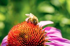 Pszczoła zbiera pollen od purpura kwiatu Zakończenie Fotografia Stock