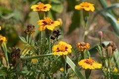 Pszczoła zbiera pollen od więdnąć nagietki w ogródzie zdjęcia royalty free