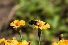Pszczoła zbiera pollen od więdnąć nagietki w ogródzie zdjęcie royalty free