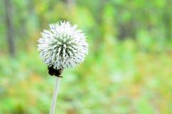 Pszczoła zbiera pozostałego jesień nektar fotografia stock
