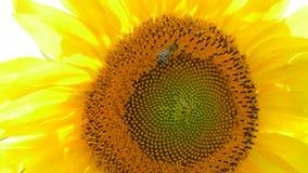 Pszczoła Zbieracki nektar Na słoneczniku zdjęcie wideo