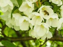 Pszczoła zbieracki nektar od białych kwiatów jabłonie w ogródzie obrazy royalty free