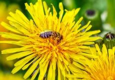 Pszczoła zbieracki nektar od dzicy kwiaty w słonecznym dniu Zdjęcia Royalty Free