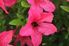 Pszczoła zbieracki nektar w jaskrawym różowym azalia kwiacie zdjęcia royalty free