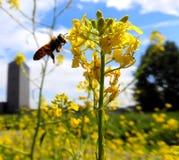 Pszczoła zbliża się żółtego kwiatu obrazy stock