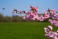 Pszczoła zbliża się Sakura kwitnie w okwitnięciu fotografia stock