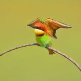 Pszczoła zjadacza ptak Obraz Royalty Free