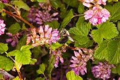 Pszczoły Łasowanie Zdjęcie Royalty Free