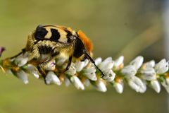 Pszczoły ściga Fotografia Stock