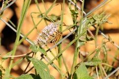Pszczoły chwiejne na kwiacie obrazy royalty free