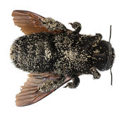 pszczoły cieśla zakrywająca kobieta groszkuje pollen Zdjęcie Royalty Free