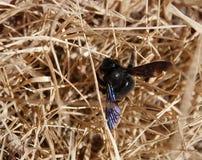 pszczoły cieśli siano fotografia royalty free