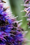 Pszczoły czołganie Na błękita I purpur kwiacie Fotografia Royalty Free