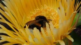 Pszczo?y dosypianie na kaktusowym ? fotografia stock