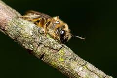 Pszczoły gałązka Obraz Royalty Free