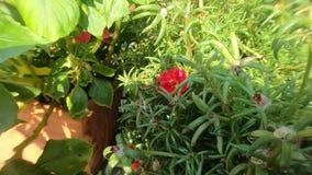 Pszczoły gmeranie dla kwiatów i zbierackiego pollen w ogródzie zdjęcie wideo