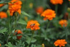 Pszczoły gromadzenia się miód Obrazy Royalty Free