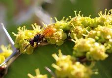 Pszczoły gromadzenia się pollen Obrazy Stock