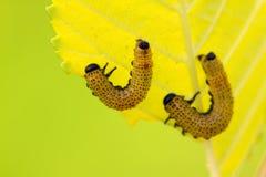 pszczoły grupują insekta Obraz Royalty Free