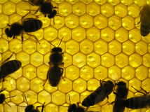 pszczoły honeyco insektów życie Fotografia Royalty Free