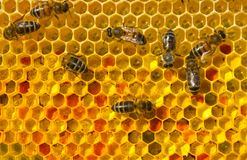 Pszczoły i kwiatu pollen obraz stock